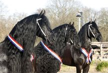 Friesian horses ~ ♥ / https://www.facebook.com/friesian.horses