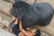 Tourist who teased a bear by dangling food in its jaws is gored and dragged