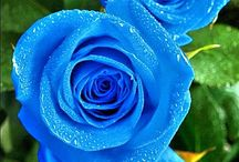 blue roses- story board