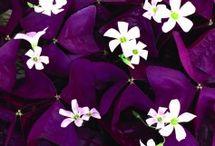 Tubero / Viola foglie