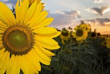 Maria's Field of Hope / Our sunflower field in Avon, OH.