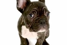 Cash the Frenchie / Cash is my gorgeous little french bulldog