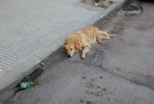 Street Dogs / Photos of beautiful large street or stray dogs...