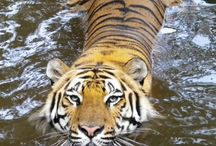 Our Neck of the Woods / by Crown Ridge Tiger Sanctuary
