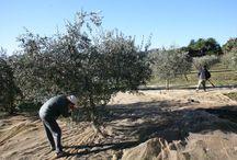 Le olive e l'olio d'oliva / Le olive e la produzione di olio d'oliva rappresentano per noi un autentico culto.