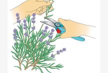 Lavendel und andere Stecklinge vermehren