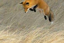 Jumping fox illustration