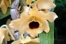 Dendrobium. Epidendrum,/Phaius