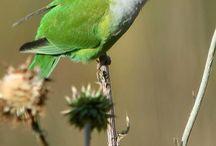 Psilopsiagon / Al genere Psilopsiagon appartengono due graziosi pappagallini sudamericani, che precedentemente erano classificati come appartenenti al genere Bolborynchus. Si tratta di pappagallini tranquilli, silenziosi, ma dal carattere molto schivo. In cattività non sono molto diffusi.   http://www.pappagallinelmondo.it/psilopsiagon.html