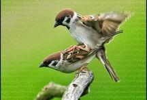 Burung Master / Kicauan Burung indonesia