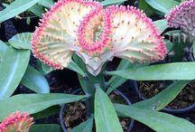 Euphorbia Lactea (Coral cactus)