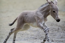Animals - Hoofin' it / Camel, Donkey, Giraffe, Goat, Horse, Llama. Zebra, Zedonk / by Kimberly Wies