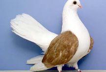 Pigeons/Palomas