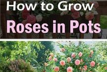 Coltivare Rose