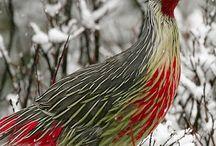 Beautiful Pheasants