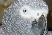 African Grey's / by Paula Smith