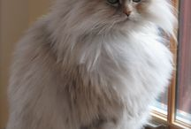 Maine Coon Persian Mix