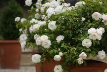 Gardening; Roses and Clementis
