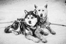 Colorado Dog Sledding / Dog sledding in Colorado.