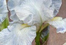 Iris / Flowers