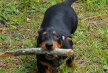 Animals / We have an adorable Miniature daschund Bella we love and a beautiful black cat Beau we adore.