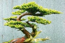 Toshou ネズ (杜松) Juniperus rigida / jałowiec rigida - bonsai, niwaki etc.