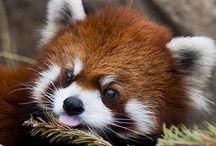 red panda♡