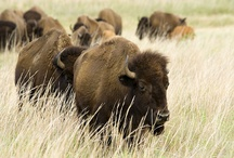Bison - in honor of Mom's passion / Do buffalos count? / by Linda Swoboda