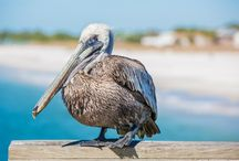 Wildlife / Mexico Beach, Florida, offers nature lovers a diverse and unique experience that stands in sharp contrast to Florida's southern Gulf Coast. At least fifty-seven different ecosystem types occur in Northwest Florida, from flatwoods to the artificial reefs located here in the Gulf of Mexico.