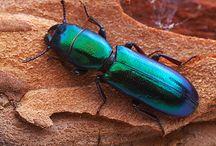 Coleoptera: in blue