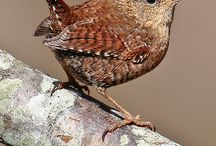 A study of wrens