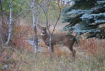 Wildlife at the A G Thomson House Bed and Breakfast / Our wonderful, secluded location in the heart of the mansion district of Duluth allows us many, many visitors! / by A G Thomson House Bed and Breakfast