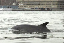 Wildlife / Wildlife spotted around New York Harbor, including Newtown Creek and the East River.