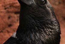 ravens - kruki