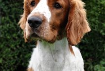 Welsh Springer Spaniel <3 <3 <3 / The most beautiful dog in the world