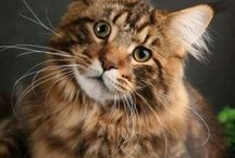 Maine Coon love / by Erika Thompson