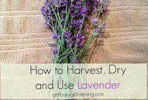 Lavender / by Gail Masuda