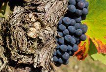 Pieds de vignes / Observez de près la beauté imparfaite de ces pieds de vignes… Un vrai plaisir pour les yeux !