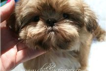 The dog I want is an Imperial shih tzu