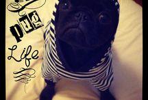 Pugs / The Pug Life
