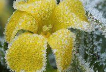 flori inghetate
