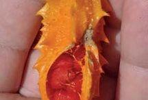 planta melão de São Caetano