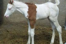 Paint Horse Foals