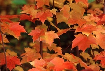 """FANTASTIC FOLIAGE /  """"Autumn is a second Spring, where every leaf is a flower""""     by: Albert Camus                                       """"Every leaf speaks bliss to me, fluttering from the autumn tree""""   by: Emily Bronte / by Leslie Messina Dawson-Mouzis"""