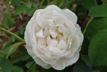 Moyses Roses