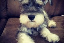 For the love of Schnauzers!!