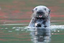 Sea Otters / West Coast wildlife