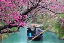 """View Mei (Mume Blossom) in Hangzhou / For its special quality of blooming most vibrantly amidst the coldest weather, mei (mume blossom) is regarded as one of """"Three Friends of the Coldness"""" along with pine and bamboo in Chinese culture. Its bright color decorates the cold and wet days in Hangzhou and it has become a part of the life of Hangzhounese to view mei in late winter and early spring. Here are some famous resorts for enjoying mei in Hangzhou."""