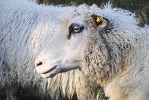Sheep / sauer!
