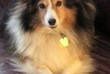 Shetland Sheep Dog: Kelsea / I adopted Kelsea from Fresh Start Sheltie Rescue on October 19, 2016. After losing precious Cassie, I discovered I could not live without one of these sweet little dogs in my life.